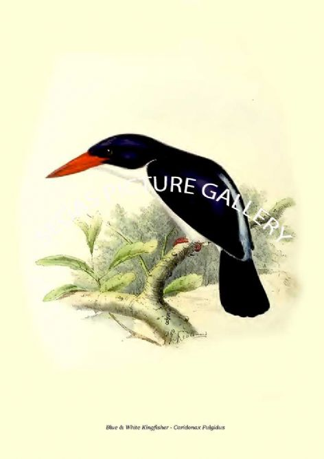 Fine art print of the Blue & White Kingfisher - Caridonax Fulgidus by  the artist Johannes Gerardus Keulemans (1868-1871)